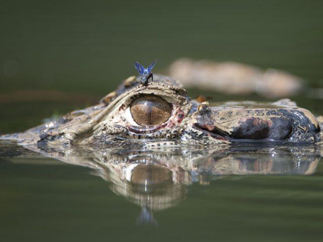 https://wildwatchperu.com/wp-content/uploads/2018/09/Black-caiman-in-Manu-Park-lakes1-1-640x480.jpg
