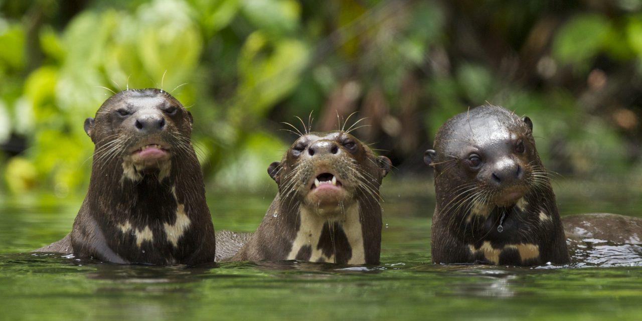 https://wildwatchperu.com/wp-content/uploads/2018/09/Giant-River-Otter-Salvador-Lake-Manu-park-1-1280x640.jpg