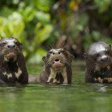 manu tour - giant river otters