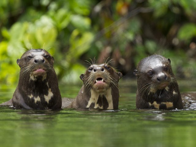 https://wildwatchperu.com/wp-content/uploads/2018/09/Giant-River-Otter-Salvador-Lake-Manu-park-1-640x480.jpg