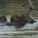 animals of manu national park- giant river otters