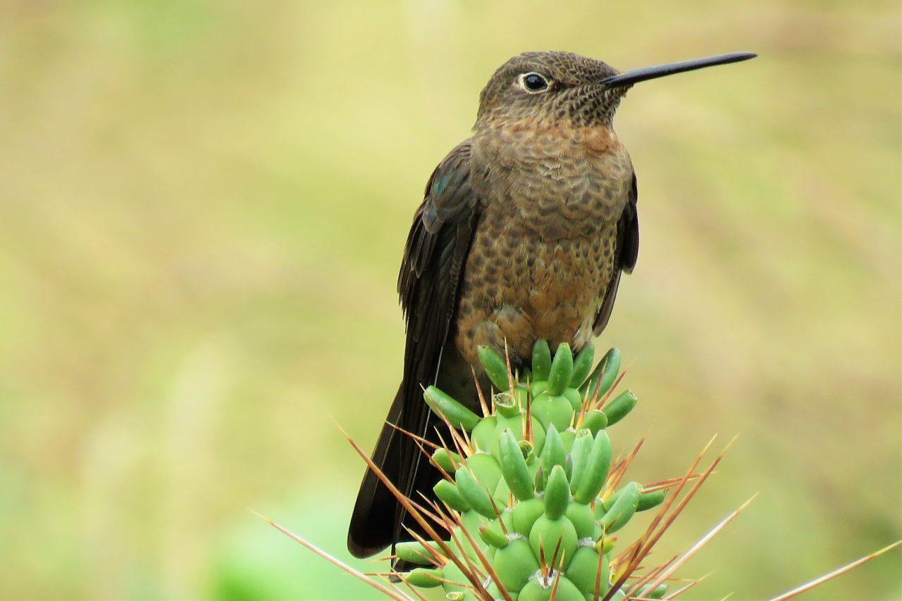 https://wildwatchperu.com/wp-content/uploads/2018/09/Giant-hummingbird-Huacarpay-1280x854.jpg