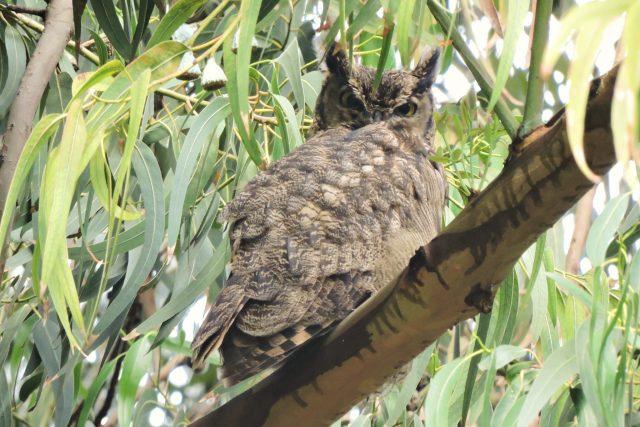 Birding Briefly at Huacarpay- Owls