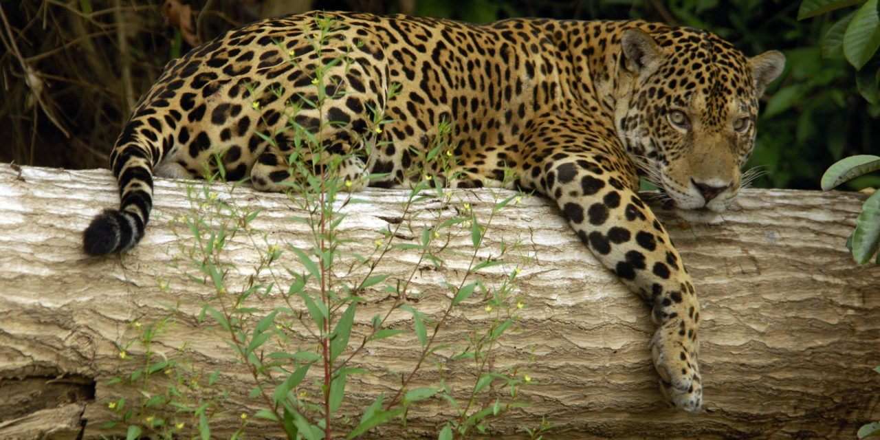https://wildwatchperu.com/wp-content/uploads/2018/09/Jaguar-at-Manu-National-Park-1280x640.jpg