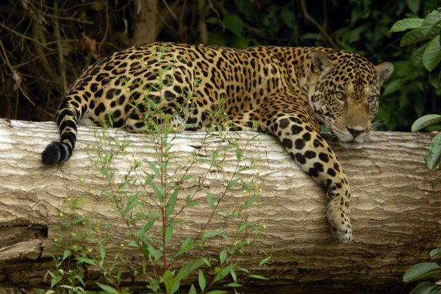 animals of manu national park - jaguar