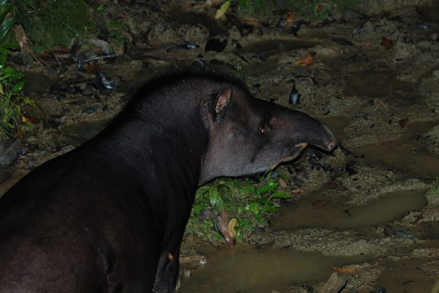 animals of manu national park - tapir