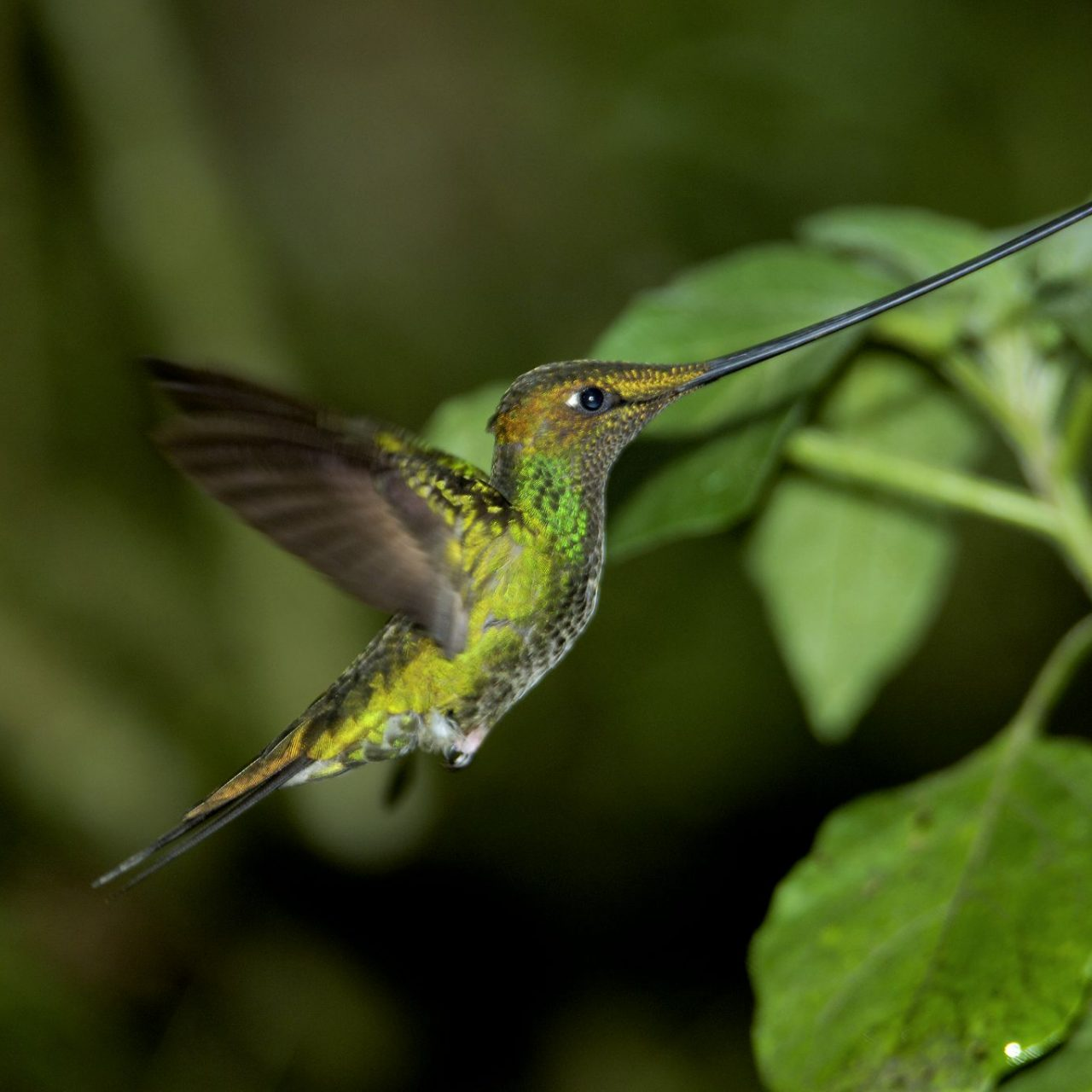 sword billed hummingbird Birding at Huacarpay Lake & Sacred Valley at Ensifera Camp- sacred valley