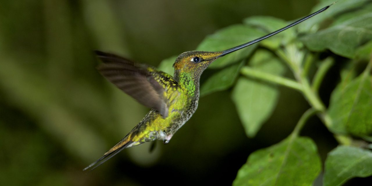 https://wildwatchperu.com/wp-content/uploads/2018/09/Sword-billed-Hummingbird2-1280x640.jpg