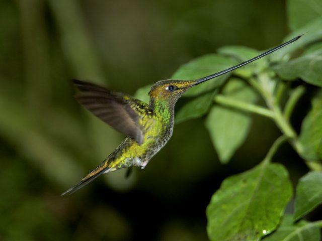 https://wildwatchperu.com/wp-content/uploads/2018/09/Sword-billed-Hummingbird2-640x480.jpg