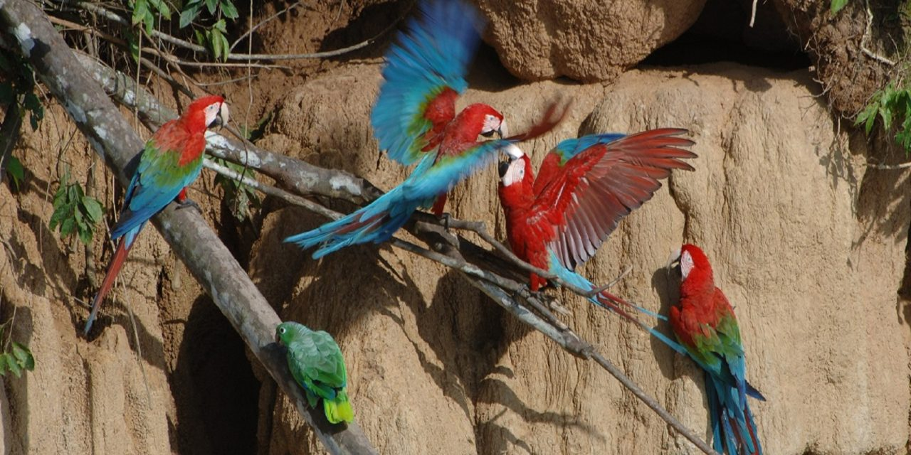 https://wildwatchperu.com/wp-content/uploads/2018/09/large-macaws-eating-clay-lick-in-Manu-1280x640.jpg