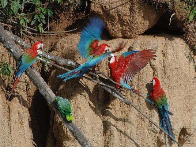 https://wildwatchperu.com/wp-content/uploads/2018/09/large-macaws-eating-clay-lick-in-Manu-640x480.jpg