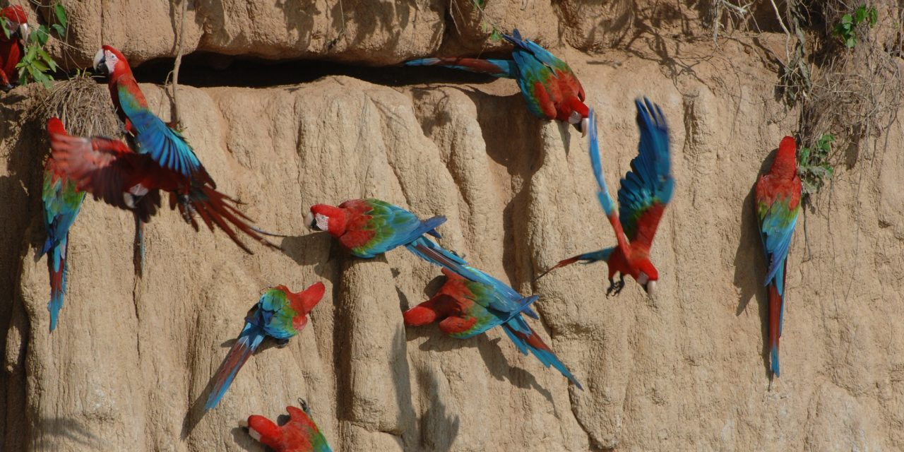 https://wildwatchperu.com/wp-content/uploads/2018/09/macaw-Clay-Lick-Manu-1280x640.jpg