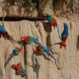 Tambopata Clay Lick Birding