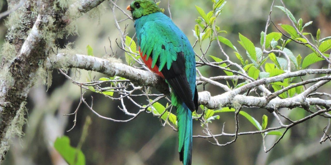 https://wildwatchperu.com/wp-content/uploads/2019/04/Golden-Headed-quetzal-in-Manu-Cloud-Forest--1280x640.jpg