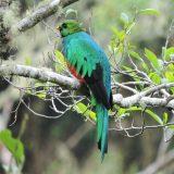 peru best birding lodges , golden headed quetzal