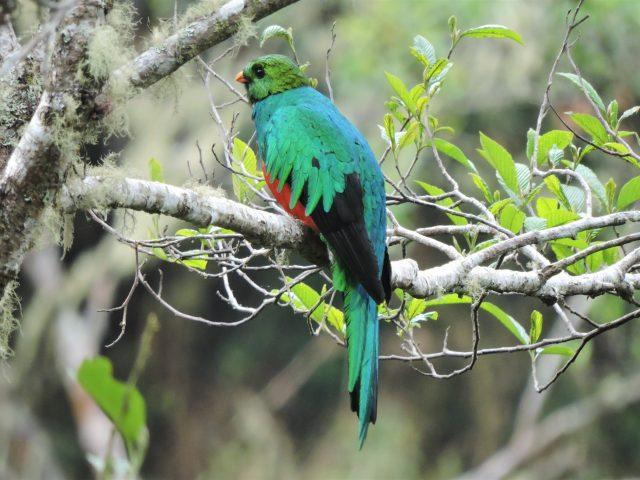 https://wildwatchperu.com/wp-content/uploads/2019/04/Golden-Headed-quetzal-in-Manu-Cloud-Forest--640x480.jpg