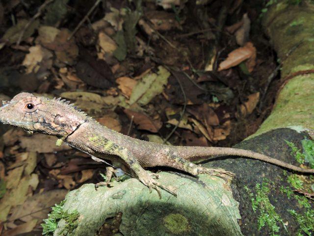 https://wildwatchperu.com/wp-content/uploads/2019/04/gecko-at-Guadalupe-Lodge-640x480.jpg