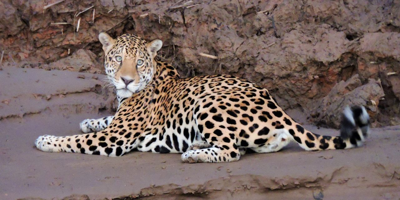 https://wildwatchperu.com/wp-content/uploads/2019/04/jaguar-at-manu-Park-river1-1280x640.jpg