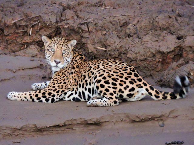 https://wildwatchperu.com/wp-content/uploads/2019/04/jaguar-at-manu-Park-river1-640x480.jpg