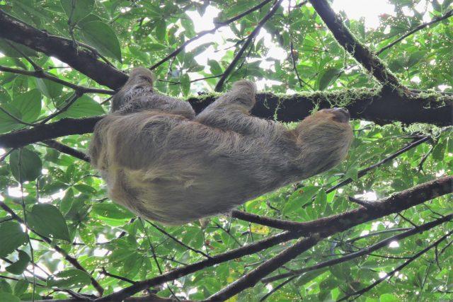 cusco manu travel time- sloth