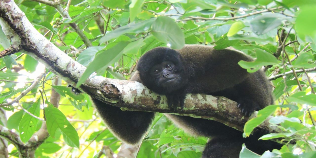 https://wildwatchperu.com/wp-content/uploads/2019/05/Woolly-Monkey-in-Manu2-1280x640.jpg