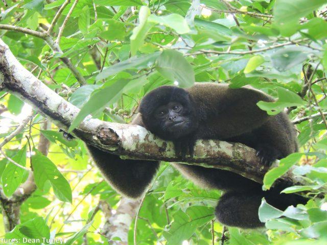 https://wildwatchperu.com/wp-content/uploads/2019/05/Woolly-Monkey-in-Manu2-640x480.jpg