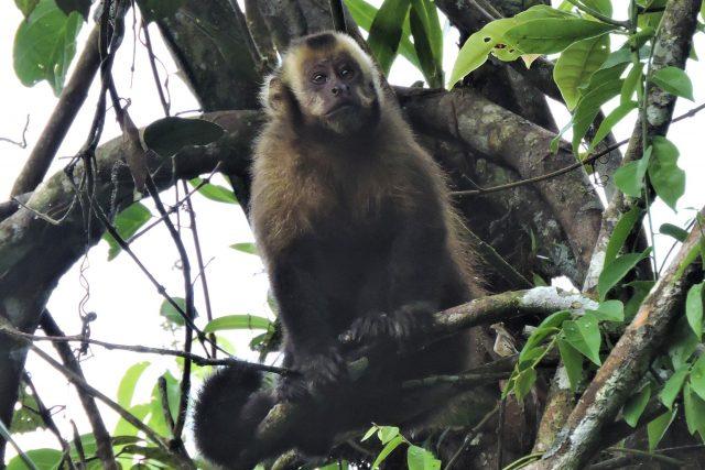 Large headed capuchin monkey at Guadalupe Lodge Trails