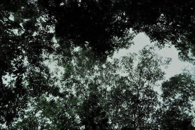 canopy forest