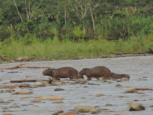 https://wildwatchperu.com/wp-content/uploads/2019/07/capibaras-in-manu-640x480.jpg