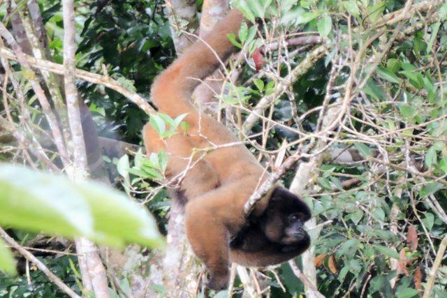 wooly monkey seen at 2 Days Amazon Tour Peru