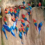 tambopata_birding-tour